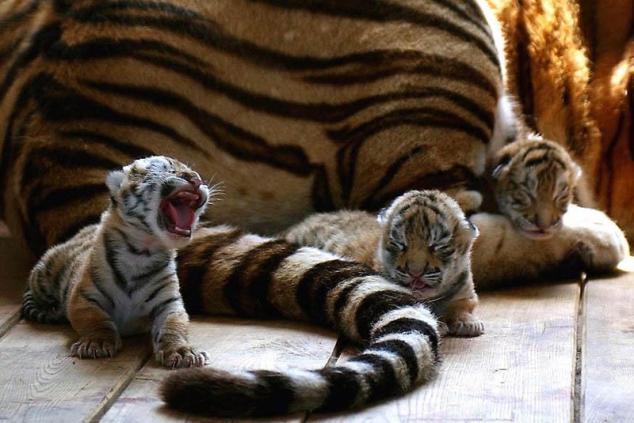 Tiger-Babies