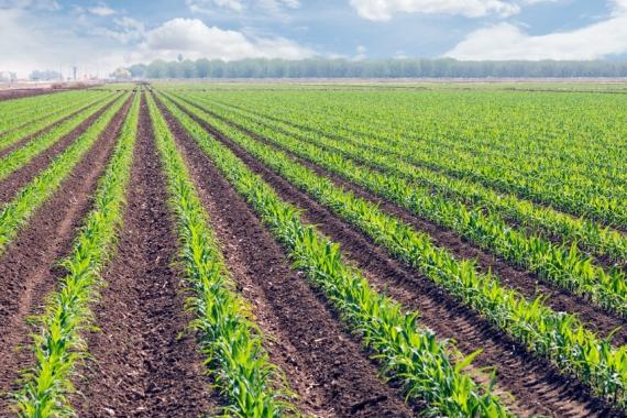 Ein mit nur einer Pflanzensorte bebautes Feld als Sinnbild der Monokultur